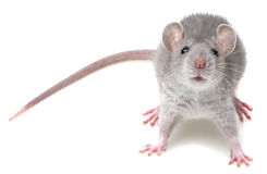 Um rato pequeno bonito Imagem de Stock