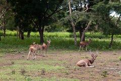 Um rebanho aglomerado dos cervos fotografia de stock royalty free