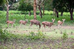 Um rebanho aglomerado dos cervos fotos de stock royalty free