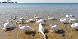 Um rebanho da água do mar branca de к das cisnes em um dia ensolarado fotografia de stock