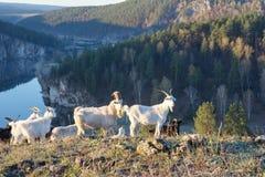 Um rebanho da cabra na montanha Foto de Stock