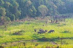 Um rebanho da família selvagem dos elefantes que anda e que come a grama na noite no campo de grama verde perto da floresta fotos de stock