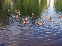 Um rebanho da flutuação dos patos selvagens imagens de stock royalty free