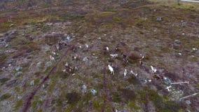 Um rebanho da rena finlandesa corre ao longo da tundra video estoque