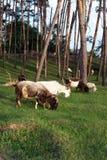 Um rebanho das cabras come a grama entre as árvores Cabra - um negócio rentável Este é carne, leite, lã e fluff imagens de stock royalty free