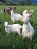 Um rebanho das cabras e dos carneiros fotos de stock