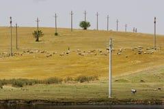 Rebanho das cabras Foto de Stock
