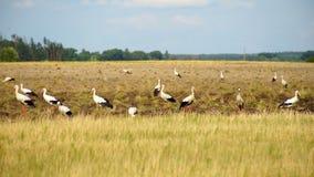 Um rebanho das cegonhas brancas que procuram o alimento no campo filme