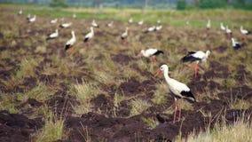 Um rebanho das cegonhas brancas que procuram o alimento no campo video estoque