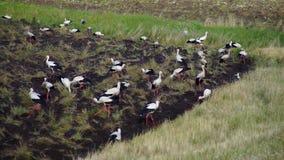 Um rebanho das cegonhas brancas que procuram o alimento no campo vídeos de arquivo