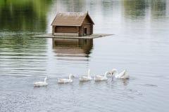 Um rebanho das cisnes que nadam no lago na casa de flutuação do fundo para os pássaros Imagens de Stock Royalty Free