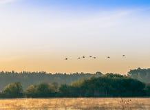 Um rebanho das cisnes que voam sobre o rio cedo na manhã Imagem de Stock