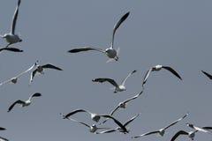 Um rebanho das gaivotas Imagem de Stock Royalty Free