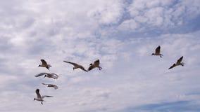 Um rebanho das gaivotas e de um vento contrário