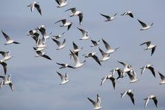Um rebanho das gaivotas em voo Imagens de Stock Royalty Free