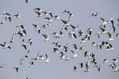 Um rebanho das gaivotas em voo Fotografia de Stock Royalty Free