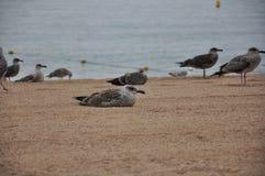 Um rebanho das gaivotas na costa Fotos de Stock