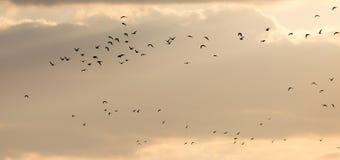 Um rebanho das gaivotas no céu no por do sol Foto de Stock