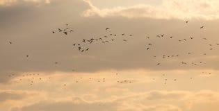 Um rebanho das gaivotas no céu no por do sol Imagens de Stock
