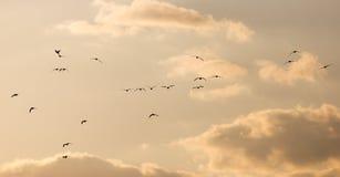 Um rebanho das gaivotas no céu no por do sol Imagem de Stock