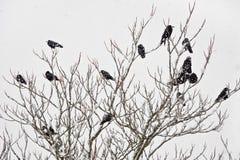Um rebanho das gralhas que sentam-se em uma árvore no inverno Foto de Stock