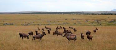 Um rebanho das impalas no parque de jogo de mara do Masai fotos de stock royalty free