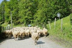 Um rebanho das ovelhas Imagens de Stock Royalty Free