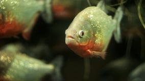 Um rebanho das piranhas no aquário vídeos de arquivo