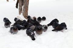 Um rebanho das pombas: Pássaros durante o inverno congelado fotos de stock royalty free