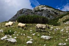 Um rebanho das ram que pasta em um prado da montanha rochosa fotografia de stock