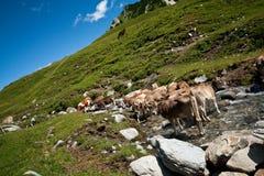Um rebanho das vacas Fotos de Stock Royalty Free