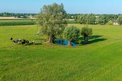 Um rebanho das vacas está pastando em uma lagoa em um dia ensolarado foto de stock royalty free