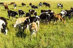Um rebanho das vacas novas que pastam em um campo verde em um dia ensolarado brilhante fotografia de stock royalty free