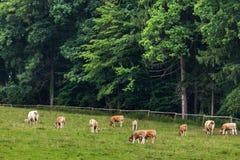 Um rebanho das vacas que pastam e que descansam no pasto Fotografia de Stock
