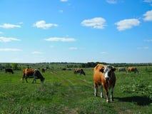 Um rebanho das vacas que pastam em um dia ensolarado do prado imagens de stock royalty free