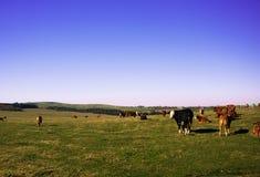 Um rebanho das vacas que relaxam no prado enorme das montanhas do minério Fotos de Stock Royalty Free