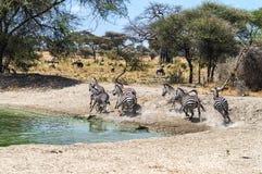 Um rebanho das zebras Foto de Stock
