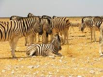 Um rebanho das zebras no savana foto de stock royalty free