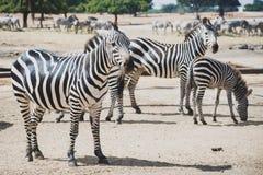 Um rebanho das zebras que pastam na reserva em um safari fotografia de stock royalty free