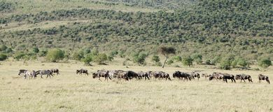 Um rebanho de animais selvagens na pastagem bonita do Masai Mara Imagem de Stock