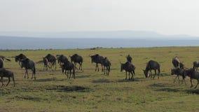 Um rebanho de antílopes do gnu corre savanas em uma conserva africana video estoque