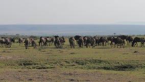 Um rebanho de antílopes do gnu corre savanas em uma conserva africana vídeos de arquivo