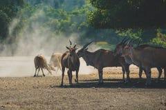 Um rebanho de antílopes orientais grandes bonitos dos bongos, animal extremamente raro que pasta na reserva em um safari Foto de Stock Royalty Free