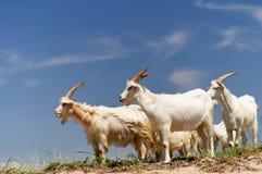 Um rebanho de cabras domésticas Fotografia de Stock Royalty Free
