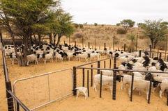 Um rebanho de carneiros do trapeira aglomerou-se em um estábulo Foto de Stock Royalty Free