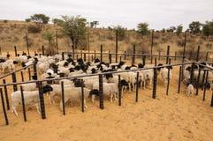 Um rebanho de carneiros do trapeira em um estábulo em África do Sul Imagens de Stock Royalty Free