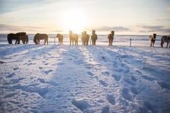Um rebanho de cavalos marrons islandêses no sol do nascer do sol fotos de stock