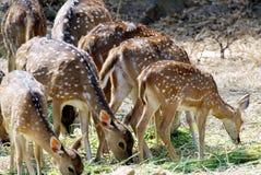 Um rebanho de cervos manchados, pastando a grama imagem de stock
