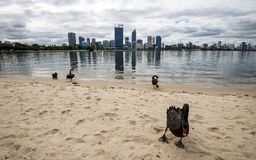 Um rebanho de cisnes pretas emerge da água em Perth, Austrália Ocidental fotos de stock