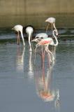 Um rebanho de flamingos bonitos Imagens de Stock